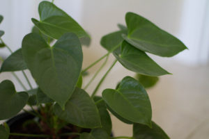 Plants for Cleaning Air Anthurium