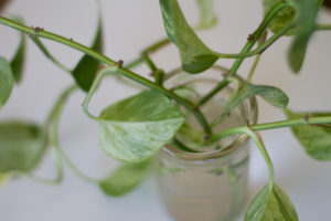 Plants for Cleaning Air Pothos